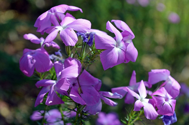 Prickly Phlox, one of many species of wildflowers that bloom along the trail in the spring.