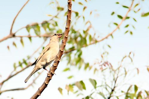 sparrow...1 by ShubhenduPhotography