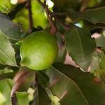 Guatemala, Macadamias de Valhalla en Antigua 01