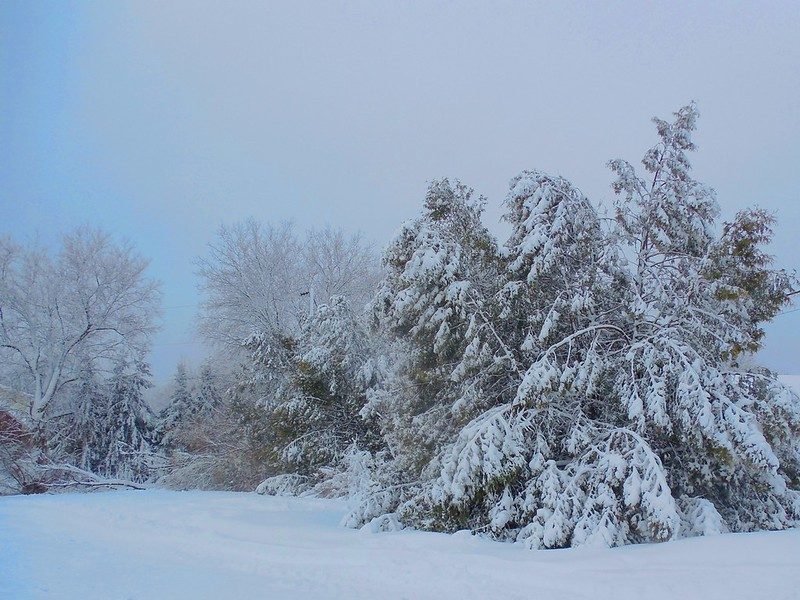 cedars laden with snow after storm