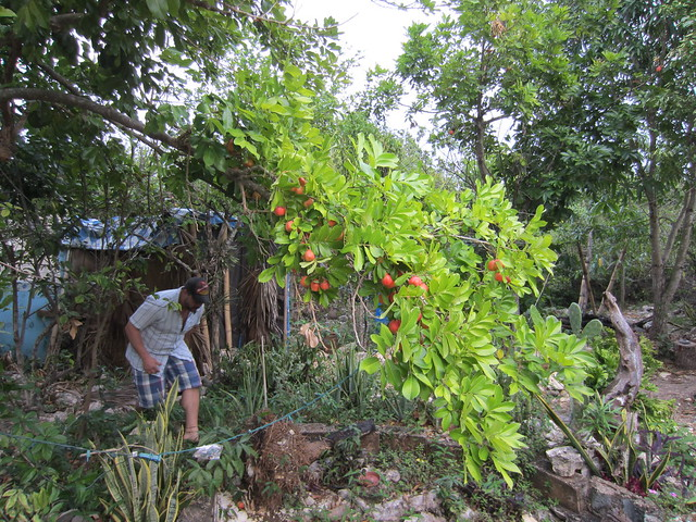 Ackee tree at Just Natural