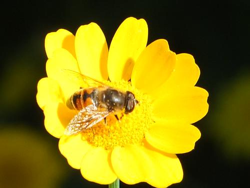 Bee on Paris DaiyDSCF4475.jpg by Patricia Manhire