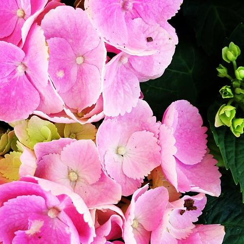 Hydrangea. #spring #lovely
