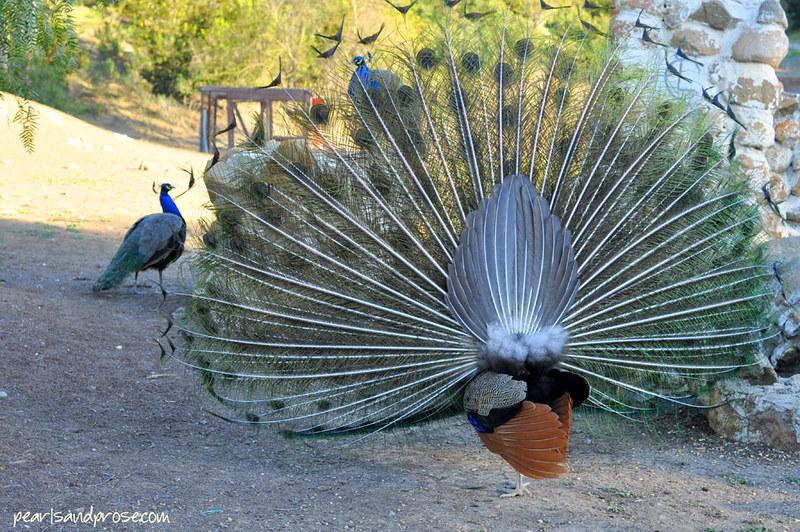 carillo_peacock_back_web