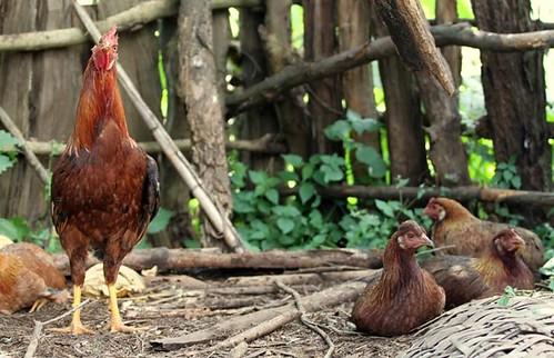 Chicken in Horro Woreda, Ethiopia