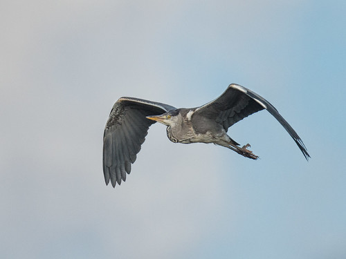 Grey Heron-winter flight