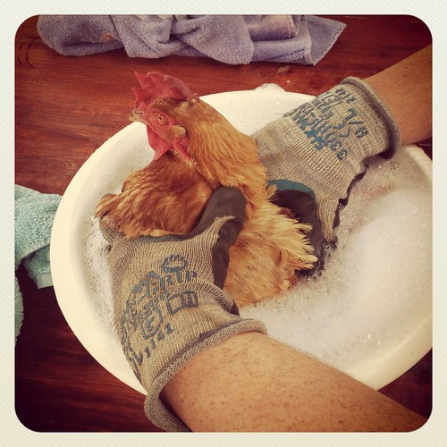 Shirley gets a bath and some medical assistance for a stuck egg.