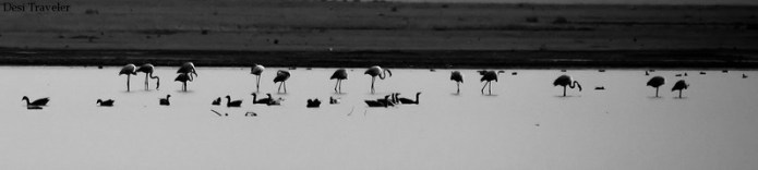 Flamingos and bar headed geese in Lake Gandipet