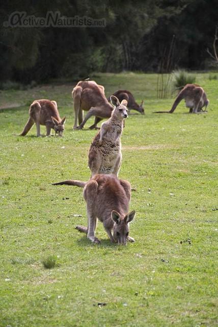kangaroo 0000 River Island, New South Wales, Australia
