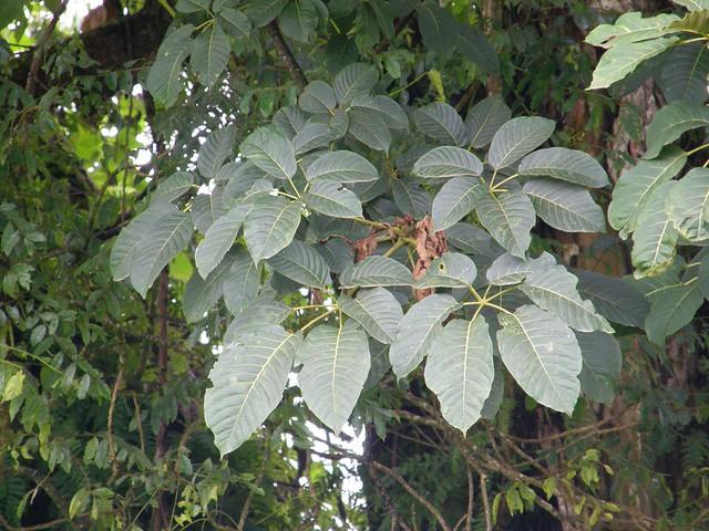 Schefflera sp.