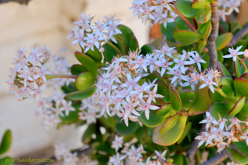 jade_plant_web