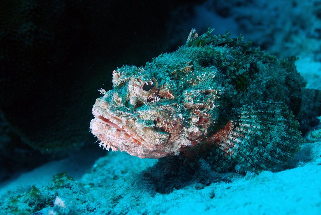 Bonaire 2016 117 scorpionfish