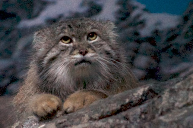 Manul on the Rocks