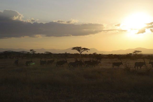 Sunsets on an Eland herd in Samburu