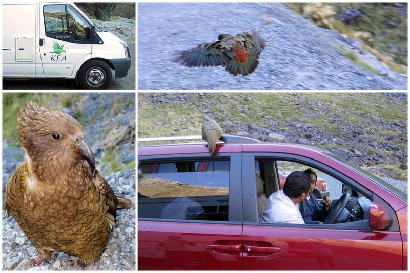 Kea in Homer Tunnel