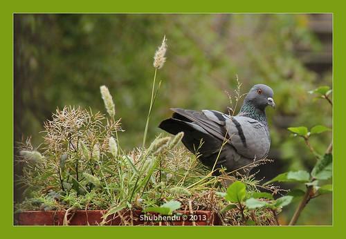 Indian Pigeon by ShubhenduPhotography
