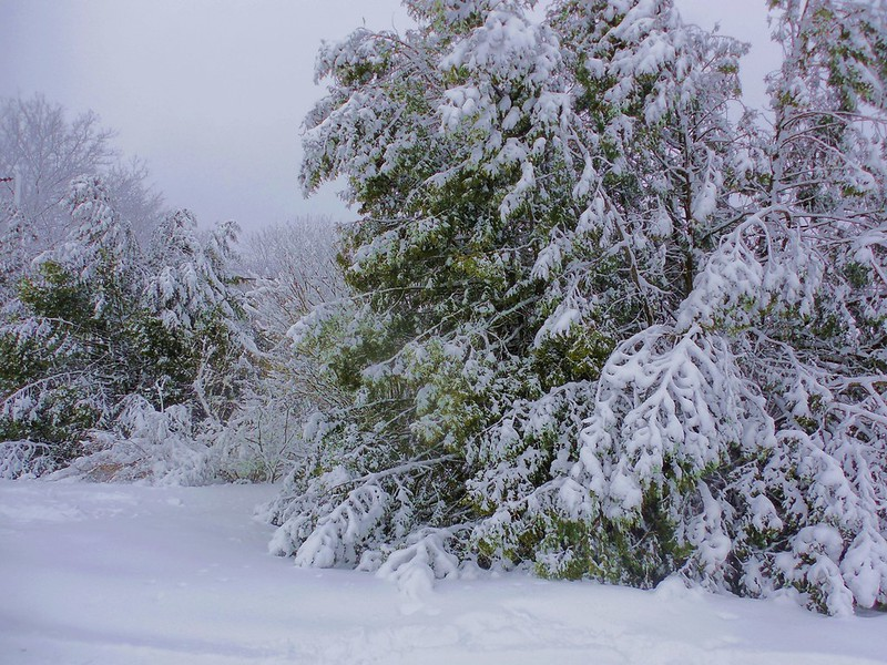 cedars laden with snow after storm in rural Ontario
