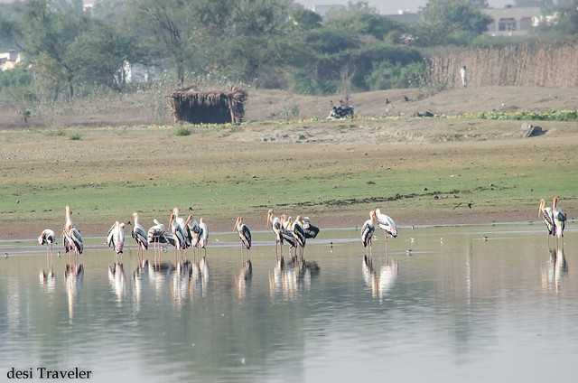 painted storks in shallow waters of gandipet lake osman sagar