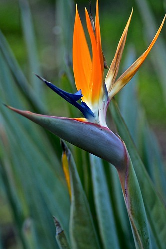 Weekly Photo: 7/52 Bird of Paradise by Kristen Koster on Flickr