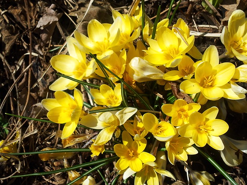 yellow snow crocus spring 13