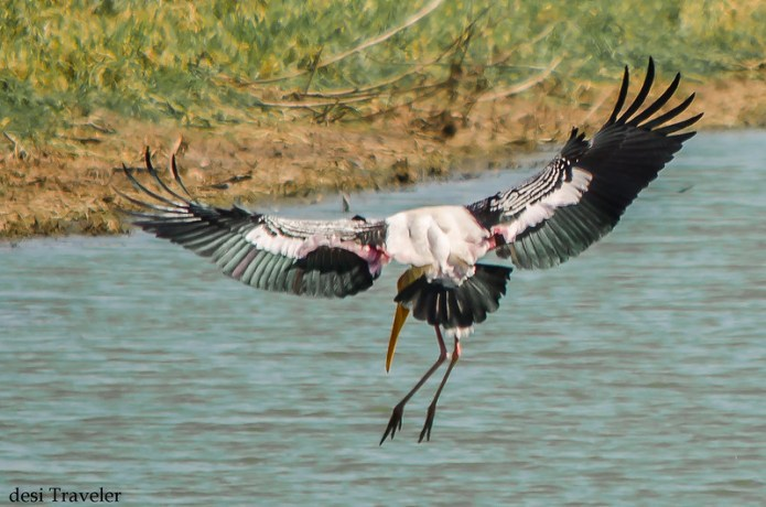 a painted stork or Mycteria leucocephala landing in a lake with BSAP