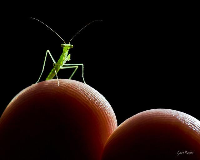 Tiny Praying Mantis on my finger tips