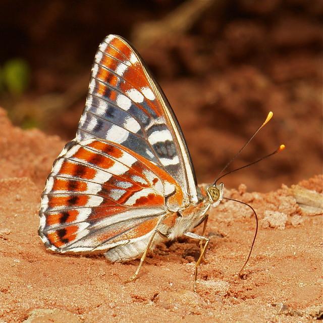 Oberthur's Admiral (Chalinga (Limentis) elwesi, Nymphalidae)