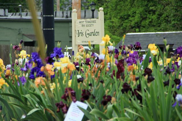 {75/365} Iris Garden