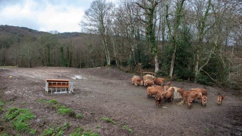 Cows in the mud
