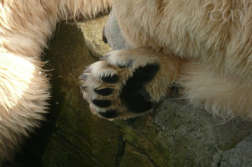 Pretty Polar Bear paw...