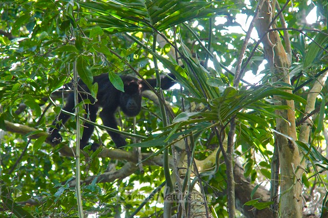 spider monkey 0001 Palenque, Chiapas, Mexico