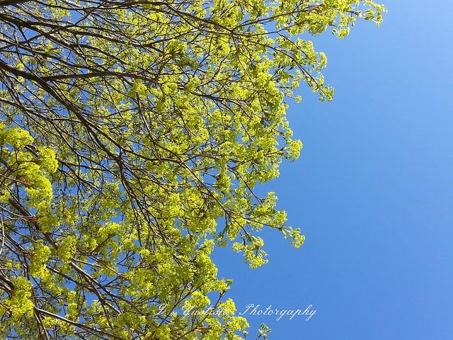 Maple tree flowers