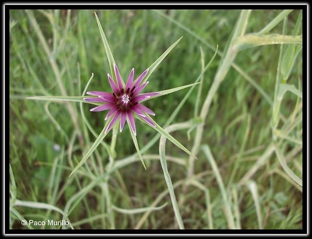 Tragopogon angustifolius Bellardi ex Willd - 3 -