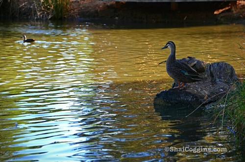 Duck Pond Reverie at Oaklands Estate Reserve