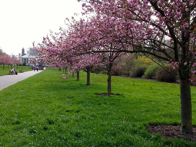Kew cherry blossom - Prunus Asano