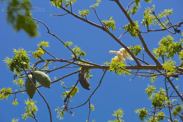cotton tree 0001 cenote Usil, Yucatan, Mexico