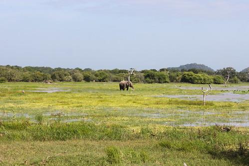 20130121_8326-Yala-safari-elephant