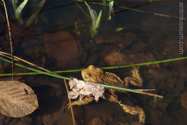 a toad in a marsh in Fontainebleau
