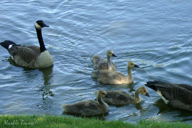 geese and goslings 4.JPG