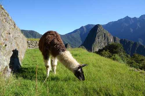 A llama grazing