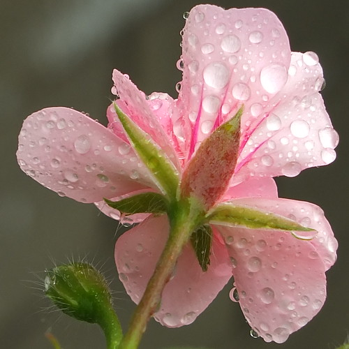 Pink Parfait by Patricia Manhire