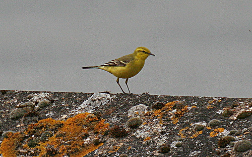 Yellow Wagtail Motacilla flava flavissima Tophill Low NR, East Yorkshire