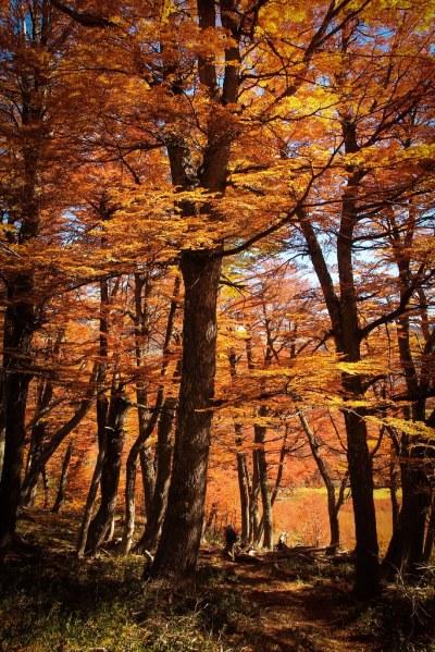 Op pad met de rugzak door een herfstig Patagonisch lengawoud. Parque Nacional Nahuel Huapi. Patagonië. Argentinië.