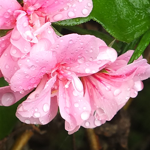 Raindrops on geraniums.jpg by Patricia Manhire