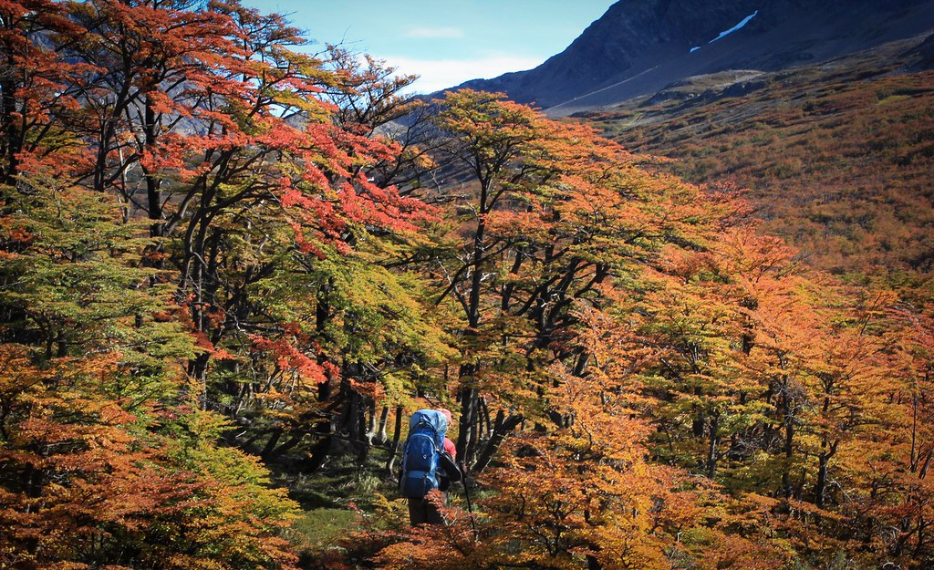 Easter Sunday. Approaching the autumnal treeline towards a pass to reach the southeastern arm of the Lago O'Higgins. Aysen. Patagonia. Chile.