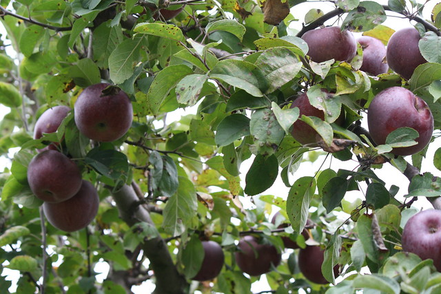 My fav's - Macoun apples