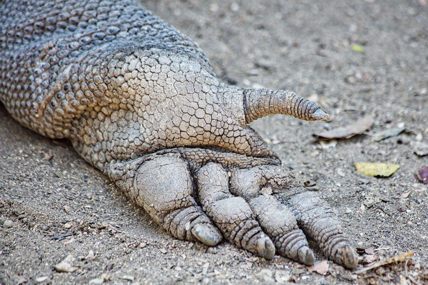 Fascinated that the bottom of the Komodo's foot looks almost human like. Thumb and all.