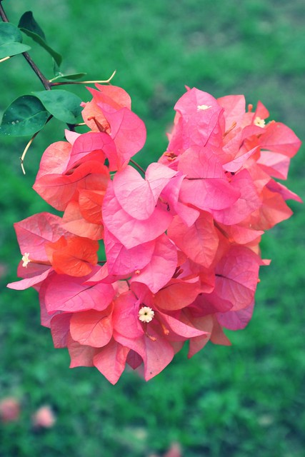 Coral Pink Bougainvillea