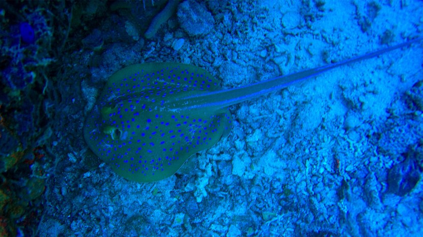 Bluespotted Stingray.