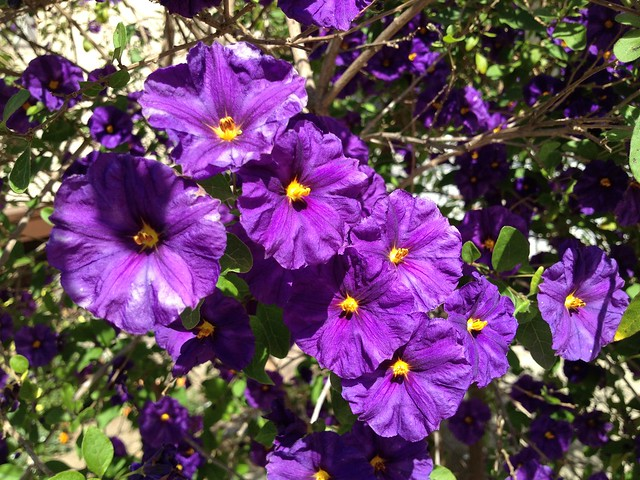Purple potato bush (Solanum rantonnetii, Solanaceae), Dolores Street